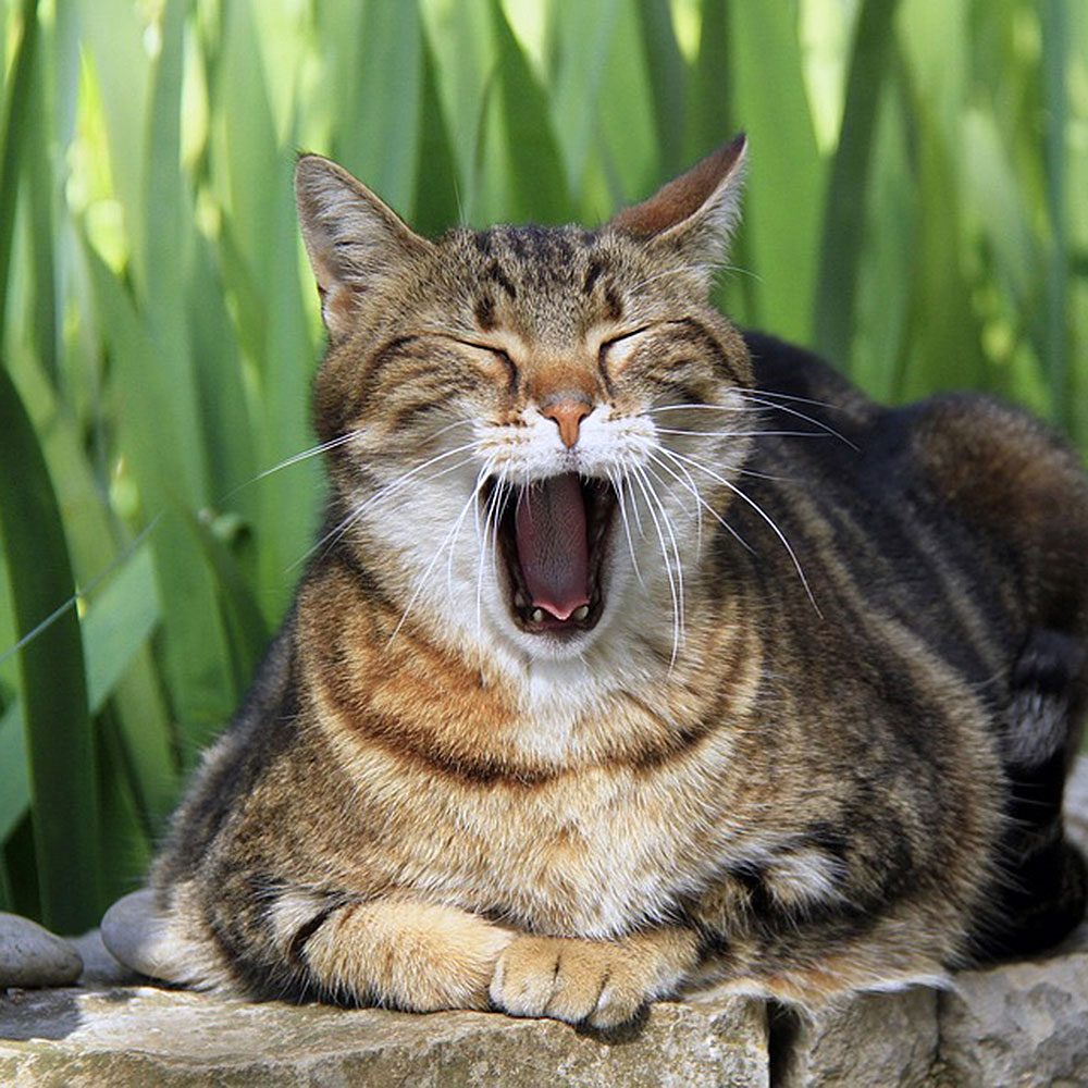 dripping-springs-texas-cat-dentistry