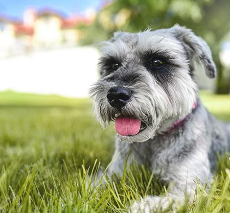 down Dog Schnauzer in Grass