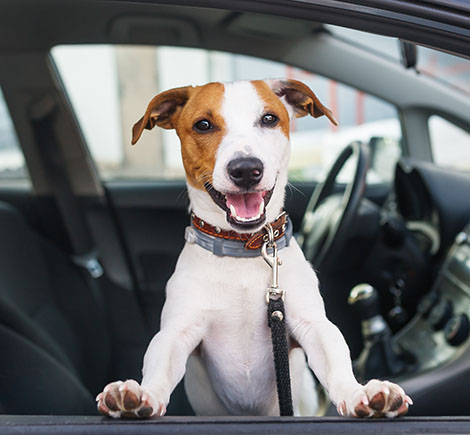 home - dog smiling in car window