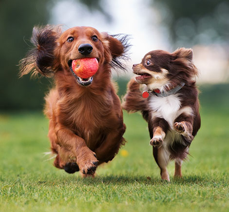 other dogs-Dogs running